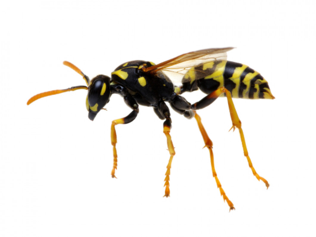 Don't Get Stung by Wasps