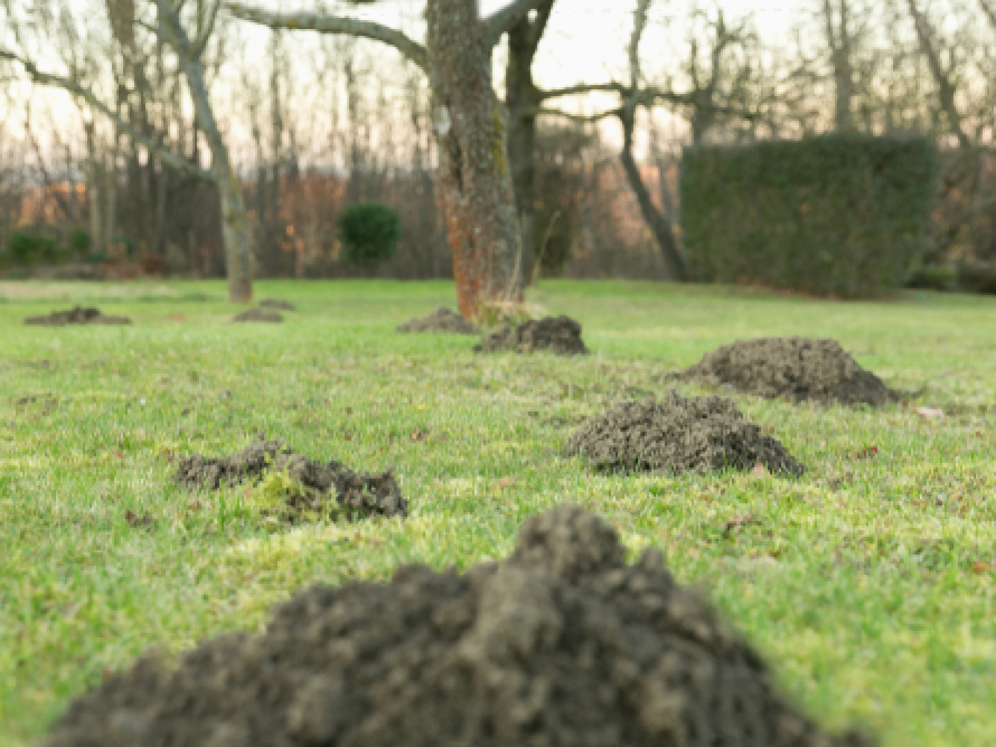 Have Moles Taken Over Your Lawn?